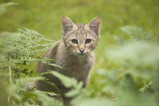 Wildpark Dusseldorf: Wildkatze