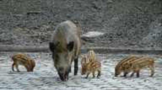 Wildpark Dusseldorf: Wildschweine