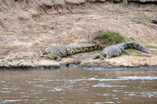 Mara Crossings Camp : crocs