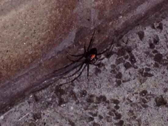 Rancho Bernardo Inn: Black widdow spider on balcony