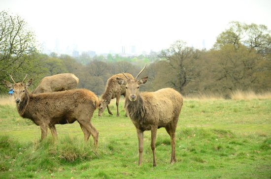 Richmond Park: One of the herds of Deer