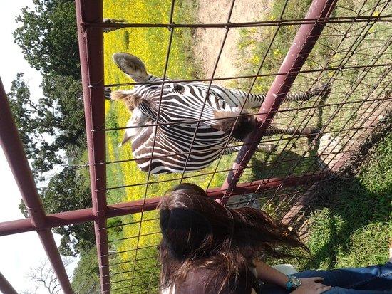 Woolaroc Museum & Wildlife Preserve: Zebra at park