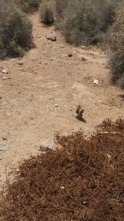 SBH Jandia Resort: Eccoli i famosi scoiattoli: dalla passerella sopraelevata che vi porta in spiaggia li incontrere