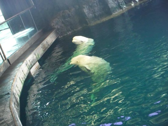 Shedd Aquarium Beluga Whale Encounter Best Accent Chairs And