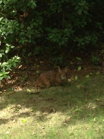 Boulder Ridge Villas at Disney's Wilderness Lodge: Rabbit outside on the grounds