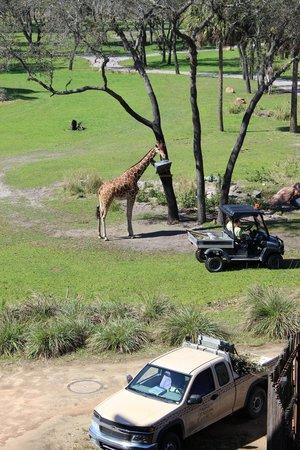 Disney's Animal Kingdom Lodge: Giraffe view from room