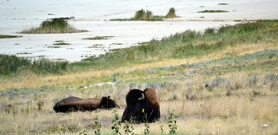 Antelope Island State Park : It was so cool to see so many bison in one area