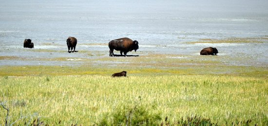 Antelope Island State Park : There are hundreds of bison