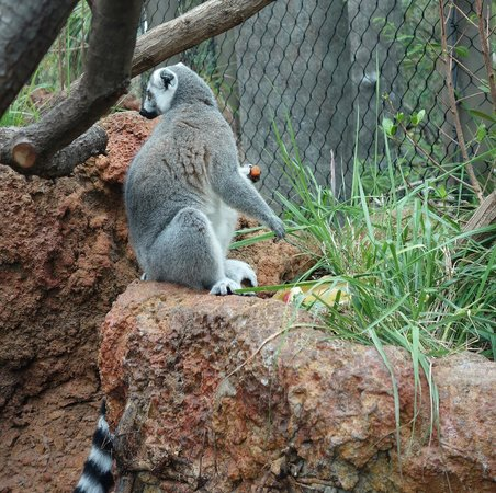 The Florida Aquarium: Ringtail Lemur