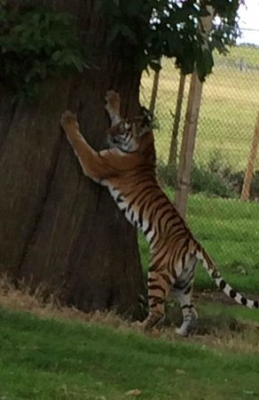 Woburn Safari Park: Tigers at Woburn, August 2014