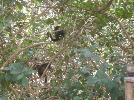 Iberostar Quetzal Playacar: floresta de macacos