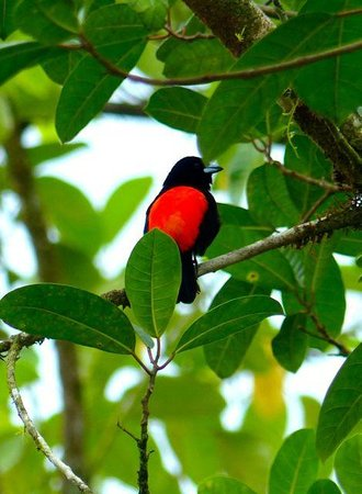 Esquinas Rainforest Lodge: red breasted tanager
