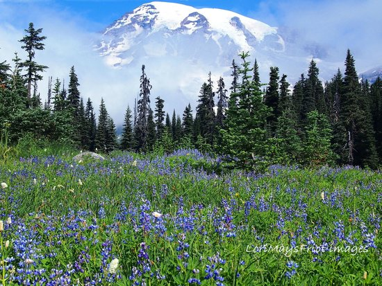 Paradise Inn at Mount Rainier: Spectacular in wildflower season.