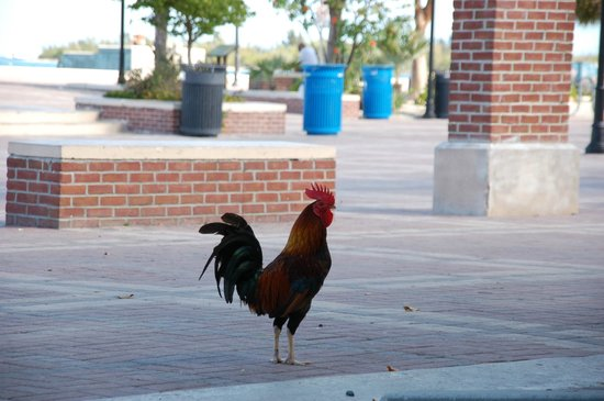 Mallory Square : Love the roosters and chickens roaming everywhere