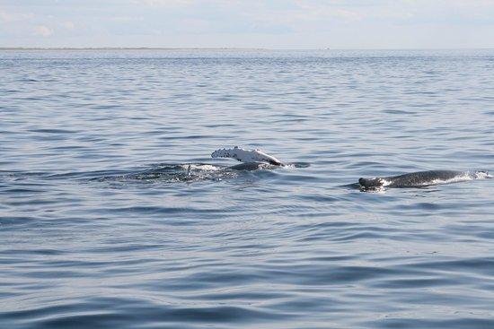 Cape Ann Whale Watch: Humpback off P'Town
