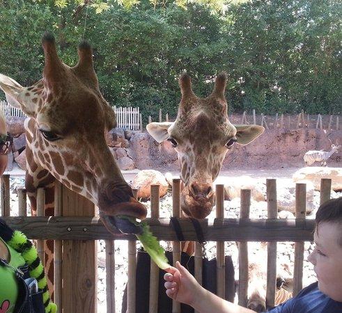 Zoo Atlanta: giraffes feeding