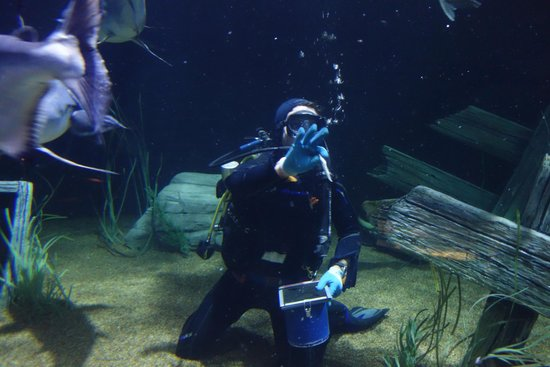 Tennessee Aquarium: diver feeding