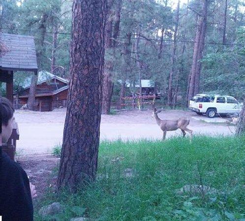 Casey's Cabins : Deer near cabin