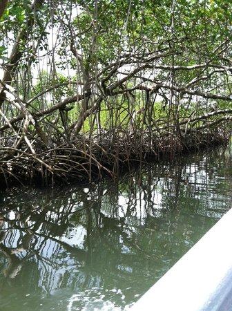 Haitises national park: mangroves