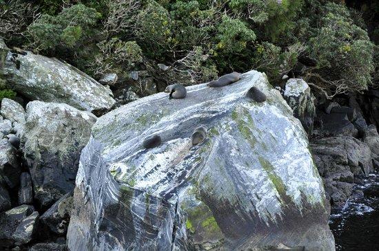 Seals at Milford Sound