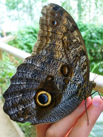 The North Somerset Butterfly House: Owl Butterfly