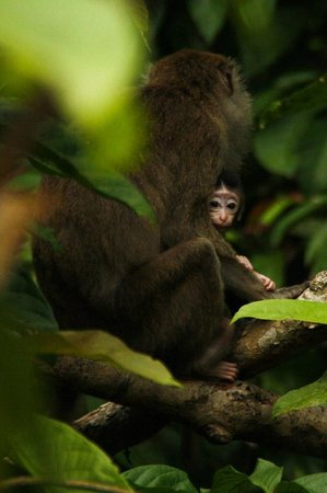 Bilit Rainforest Lodge : Monkey