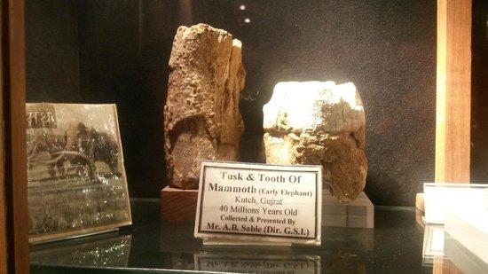 Gargoti Mineral Museum: tusk n tooth of mammoth