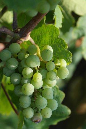 Regioscope Tours: grapes on vine