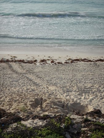 Cesiak Centro Ecologico Sian Ka'an : The turtle nest and tracks (from our veranda)