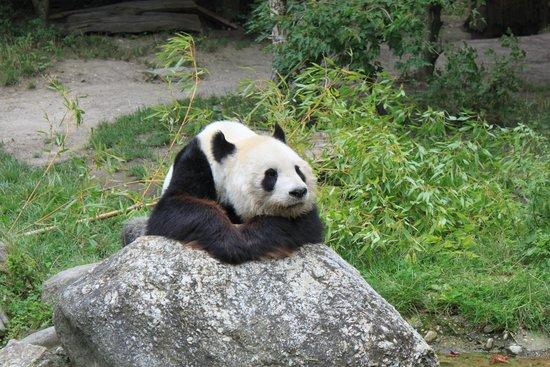 Tiergarten Schoenbrunn - Zoo Vienna: Panda <3