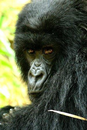 Virunga Lodge: Mama gorilla