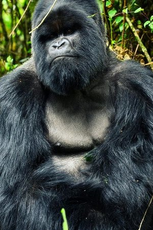 Virunga Lodge: The silverback. Mr Mamunyia.