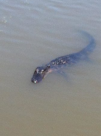 Airboat Adventures : One of many gators you will see!