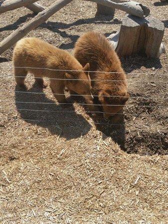 Yellowstone Bear World : Baby bears you can feed for 45
