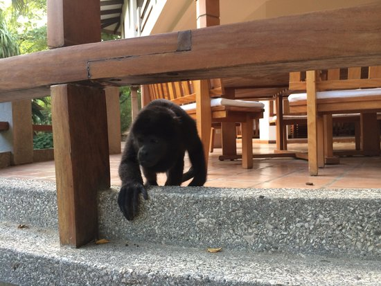 Hotel Capitan Suizo: Manguito, the monkey that comes down to ask for mangos