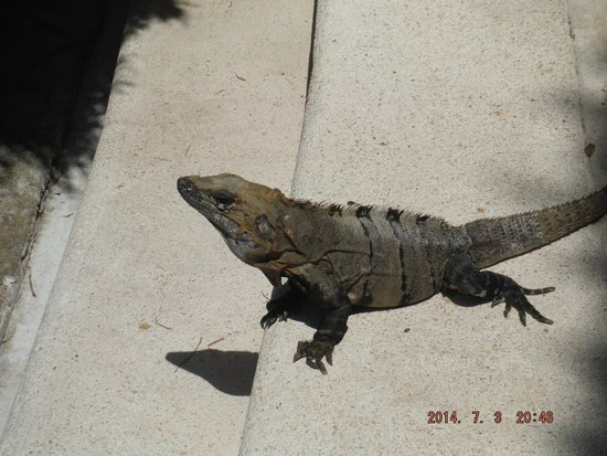 Occidental at  Xcaret Destination: lizard