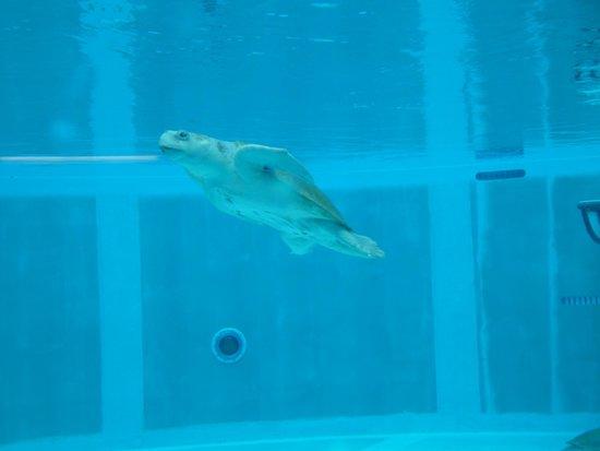 Clearwater Marine Aquarium: turtle