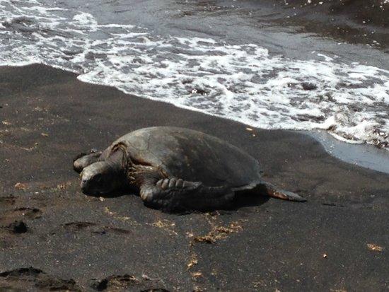 Punaluu Black Sand Beach : Honu