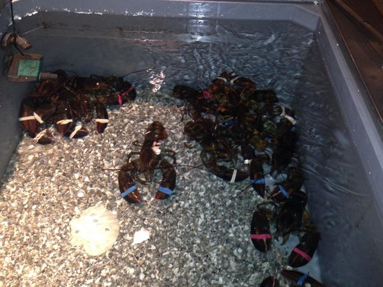 Tjuvholmen Sjomagasin: Live lobsters
