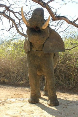 Elephant Whispers: A look at the teeth