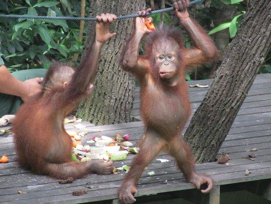 Shangri-La's Rasa Ria Resort & Spa: Orang-utans from the viewing platform
