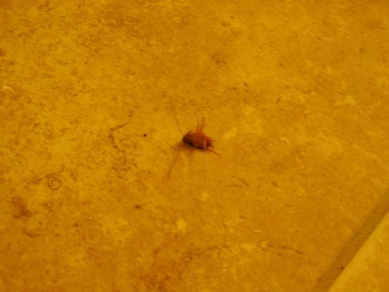 Bluegreen Vacations Harbour Lights, Ascend Resort Collection: Bathroom floor roach, yes he was alive squirming around on his back