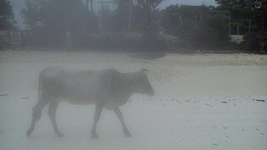 Mbuyuni Beach Village: Cow walking on the beach