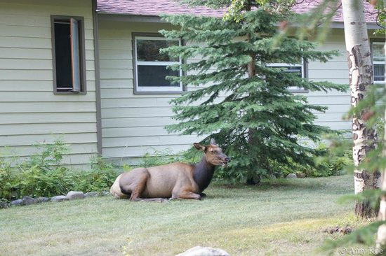 Patricia Lake Bungalows Resort : Elk resting next to one of the bungalos