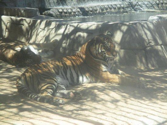 Zoo Cocodrilo Park: Tigre