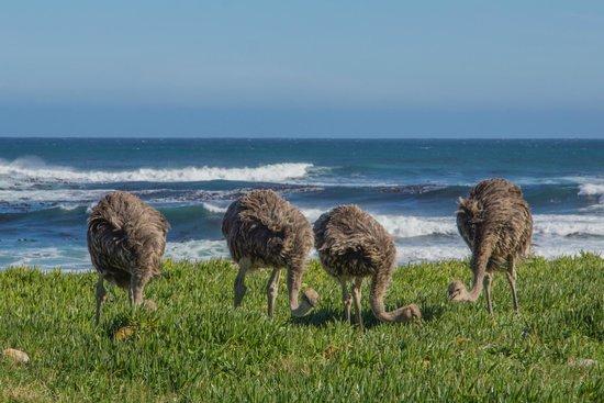 Cape Convoy: Cape Point Ostriches