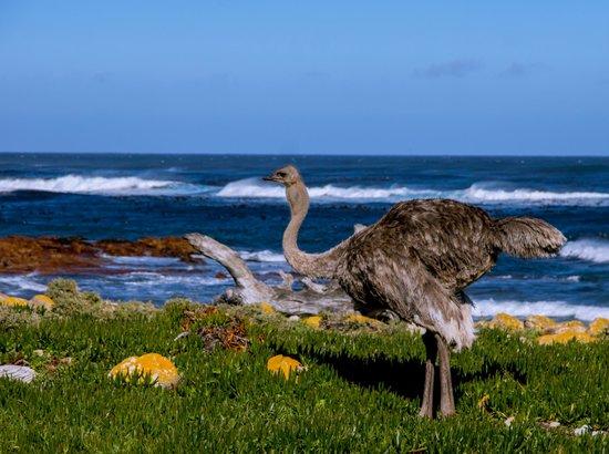 Cape Convoy: Cape Point Ostrich