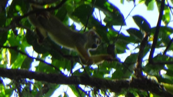 Amazonia Expeditions' Tahuayo Lodge: Squirrel Monkey Up in the canopy above us