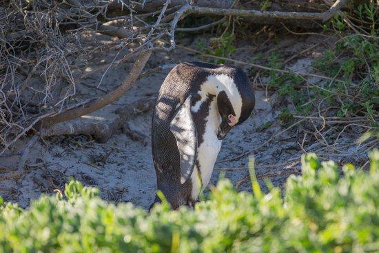 Cape Convoy: Boulders Penguin