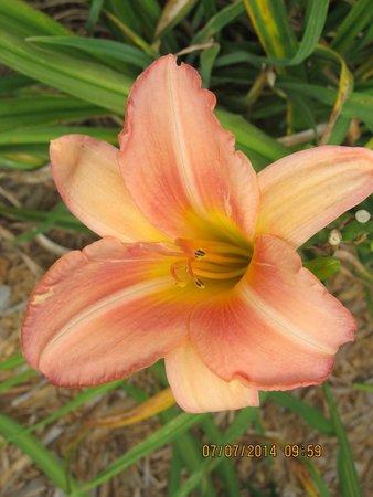 Big Locust Farm Bed and Breakfast: lily 3